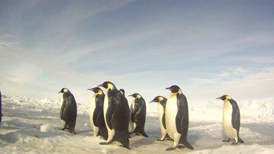 Emperor penguins (Aptenodytes forsteri) waddling across sea ice, tracking, Cape Washington, Antarctica