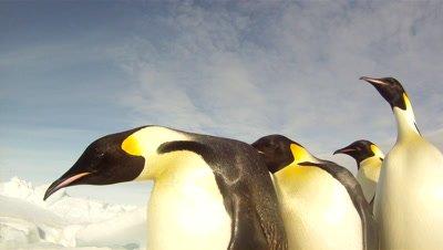 Emperor penguins (Aptenodytes forsteri) waddling past camera, tracking, Cape Washington, Antarctica