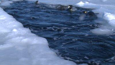 Emperor penguins (Aptenodytes forsteri) porpoising out of hole in sea ice, bump into cameraman (unseen), Cape Washington, Antarctica