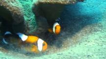 Saddleback Anemone Fishes Tend Eggs Below Host