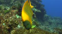 Clarion Angelfish Approaches And Investigates
