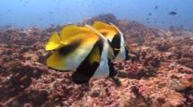 Pair Of Masked Bannerfishes Hovers Over Slopy Reef
