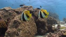 Pair Of Masked Bannerfishes Hovers Over Coral Reef