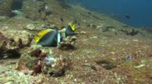 Pair Of Singular Bannerfishes Feeds On Rocks