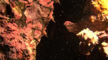 Durban Hinge-Beak Prawns In A Hole With Light