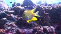 Golden Damselfish See-Saws In Front Of The Camera