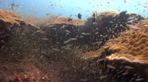 Shoal Of Pigmy Sweepers Swarm Between Corals