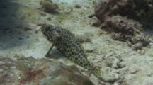 Areolate Grouper Resting On Sandy Ground