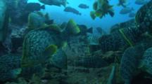 Shoal Of Leather Basses Swims Over Rocky Reef