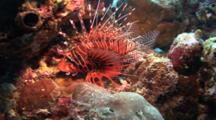 Shortfin Lionfish Rests On Corals