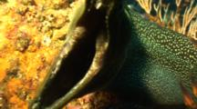 Finespotted Moray Eel open mouth close Malpelo Colombia