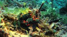 Two Nudibranchs Nembrotha Kubaryana Rest On Underwater Plants