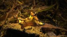 Nudibranch Nembrotha Kubaryana Crawls On Underwater Plants
