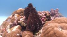 Day Octopus Rests Between Corals