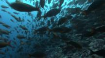 Shoal Of Pacific Creolefishes Swims Against The Current Over A Rocky Reef