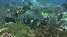 Group Of Leather Basses, Angelfishes And Surgeonfishes Feeds