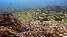 Sea Goldies And Bengal Snappers Swarm Over Coral Reef