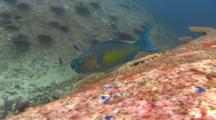 Queen Parrotfish Feeds On Rocks