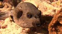 Blackspotted Pufferfish With Cleaner Shrimp Over Sandy Ground