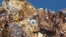 Blackspotted Pufferfish With Cleaner Fish Swims Between Corals