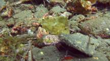 Yellow Leaf Scorpionfish Rests On Sand Bottom
