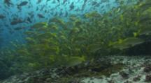 Shoals Of Bengal Snappers And Blue And Gold Snappers Hover In Strong Current Over Rocky Reef