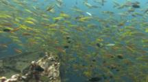 Shoal Of Bigeye Snappers Swims Over Wreck Mixed With Others