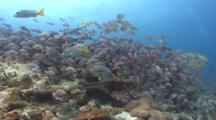 Humpback Snapper With Others And Darting Silver Fishes