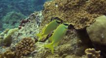 Two Foxface Rabbitfishes Feed On Corals