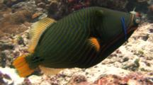 Orange-Lined Triggerfish With Cleaner Fish