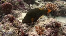 Orange-Lined Triggerfish Feeds On Corals
