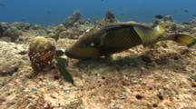 Titan Triggerfish Feeds On Corals