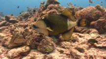 Titan Triggerfish With Cleaner Fish