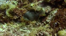 Yellowmargin Triggerfish Hovers Over Corals