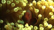 Spinecheek Anemonefish Hides In An Anemone