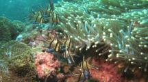 Banggai Cardinalfishes Hover Under Anemone