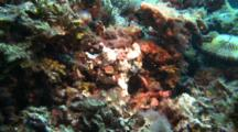 Warty Frogfish Rests On Corals