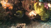 Barred-Fin Moray Eel In Hole With Cleaner Fish