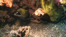 Barred-Fin Moray Eel In Hole With Cleaner Fish And Shrimp