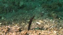 Black Ribbon Eel Looks Out Of A Hole In The Sand