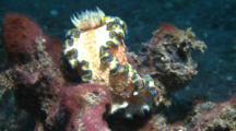 Nudibranch Glossodoris Cincta Movers Over Corals