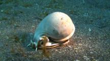 Tun-Shell Casmaria Ponderosa Perryi Crawls On Sandy Ground