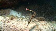 Ringed Pipefish Hovers Over Sandy Ground