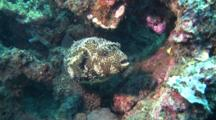 Map Pufferfish Hides Under Corals