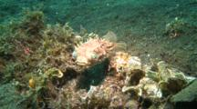 Orbicula Burrfish Hides Hovers Over Sandy Ground