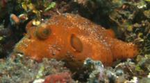 Juvenile Star Pufferfish Rests On Corals