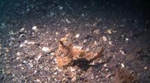 Ambon Scorpionfish Tumbles Over Sandy Ground