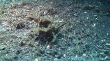 Two Ambon Scorpionfishes Tumble Over Sandy Ground