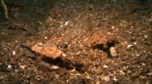 Two Short Dragonfishes Walk On Sandy Ground