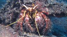 Hairy Red Hermit crab Feeds On Sand